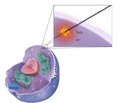 amplification of radiation effects in cells